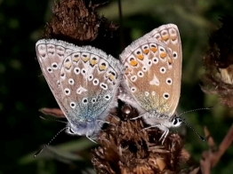 Mating pair of Common Blue butterflies