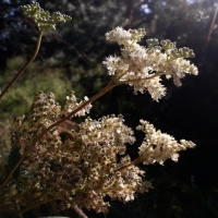 Meet a Plant: Meadowsweet