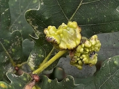 Oak knopper gall, caused by Andricus psychedelics hall wasp