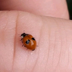 2-Spot ladybird crawling on my hand