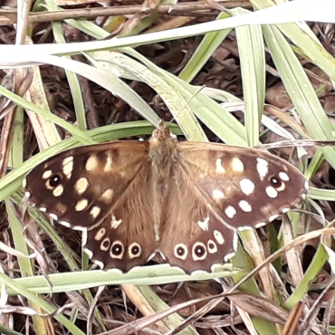 Speckled Wood butterfly (Pararge aegeria)