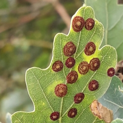 Common Spangle Gall (Neuroterus quercusbaccarum))