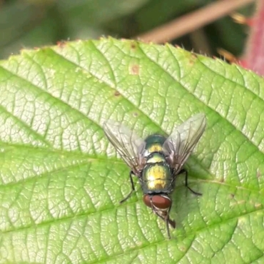 Common Green Bottle fly (Lucille sericata))