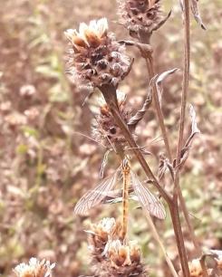 Tiger Cranefly (Nephrotoma flavescens)