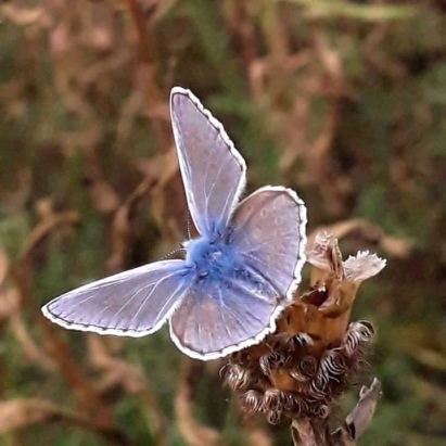 Common Blue butterfly (
