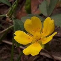 Meet a Plant: Cinquefoil