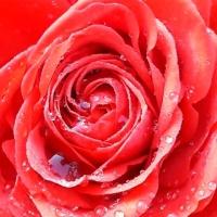 Forever in Roses