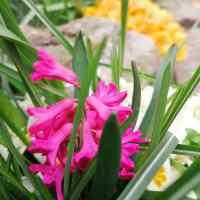 A Hyacinth Heyday